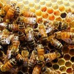 Comisia Europeană oferă bani pentru apicultori