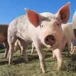 AGRICULTURĂ: Pestă porcină în Satu Mare!