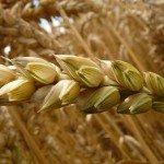 Locul din Europa de unde poți cumpăra grâu ieftin!