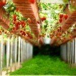 Ce trebuie să știi dacă vrei să-ți înființezi o cultură de căpșuni