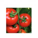 Recomandare pentru fermieri: Seminte tomate ALAMINA F1